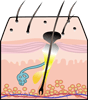 Diagram of hair follicle